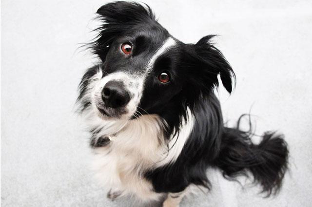 Топ 10 Самые умные породы собак в мире