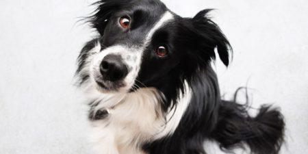 Самая умная собака в мире - бордер-колли