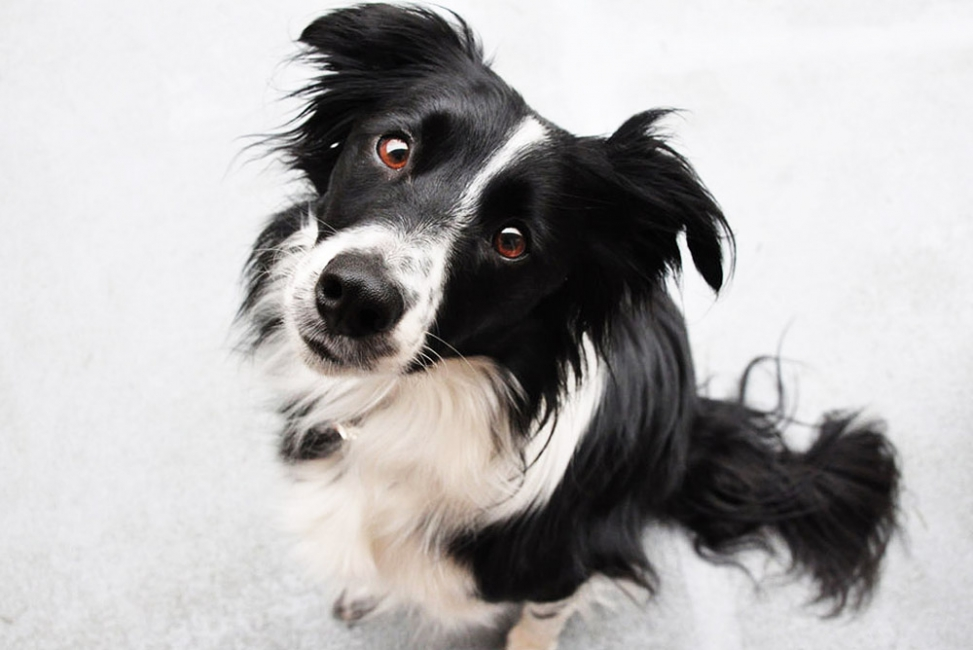 самая умная порода собак в мире фото