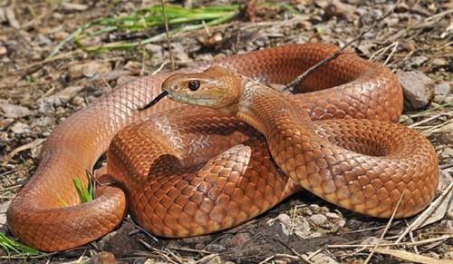 Тайпан или Жестокая змея