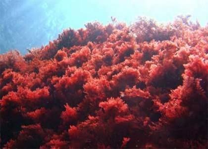 Самое ядовитое морское растение - Красные водоросли