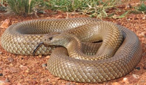 Королевская коричневая змея (Мулга)