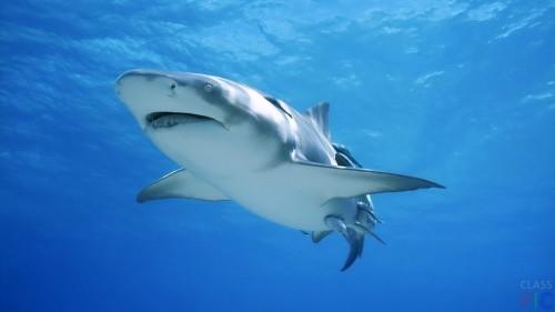 Самая опасная рыба в мире - Акула-бык
