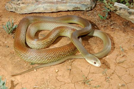 Самая ядовитая змея в мире - Жестокая змея