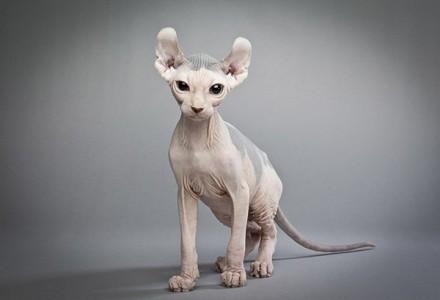 Кошка-эльф