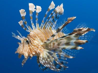 Рыба – лев (полосатая крылатка)