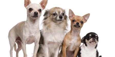 Самые миниатюрные породы собак в мире
