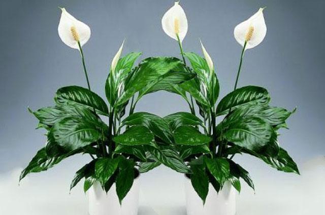 Самые ядовитые комнатные растения. Список опасных растений для здоровья человека.