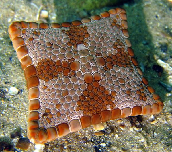 Бисквитная морская звезда (квадратная)
