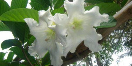 Бьюмонтия Крупноцветковая