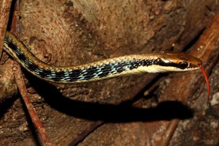 Древесный уж (летающая змея)