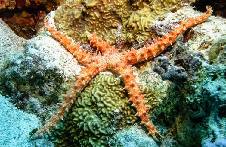 Египетская морская звезда (Gomophia egyptiaca)