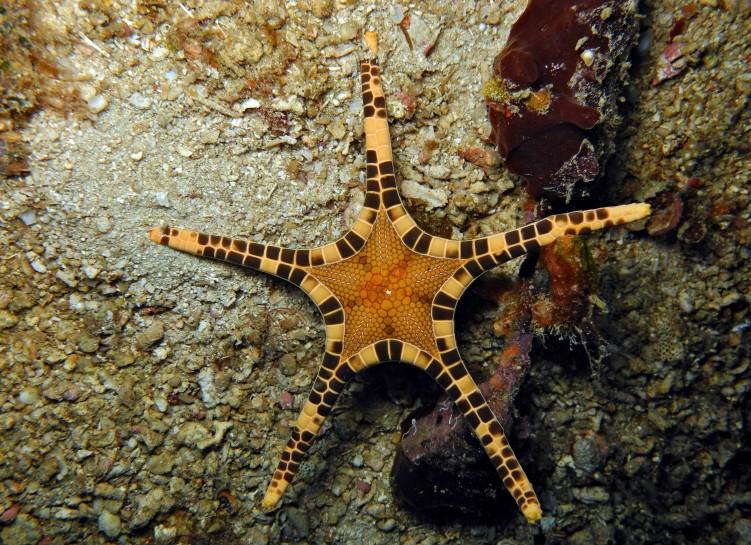 Сдвоенная морская звезда (Iconaster longimanus)