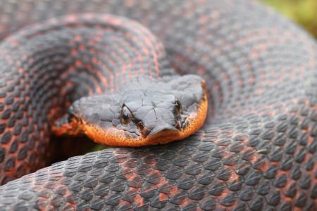 Широконосая восточная змея