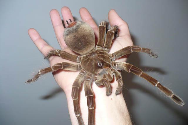 Самые большие пауки на планете