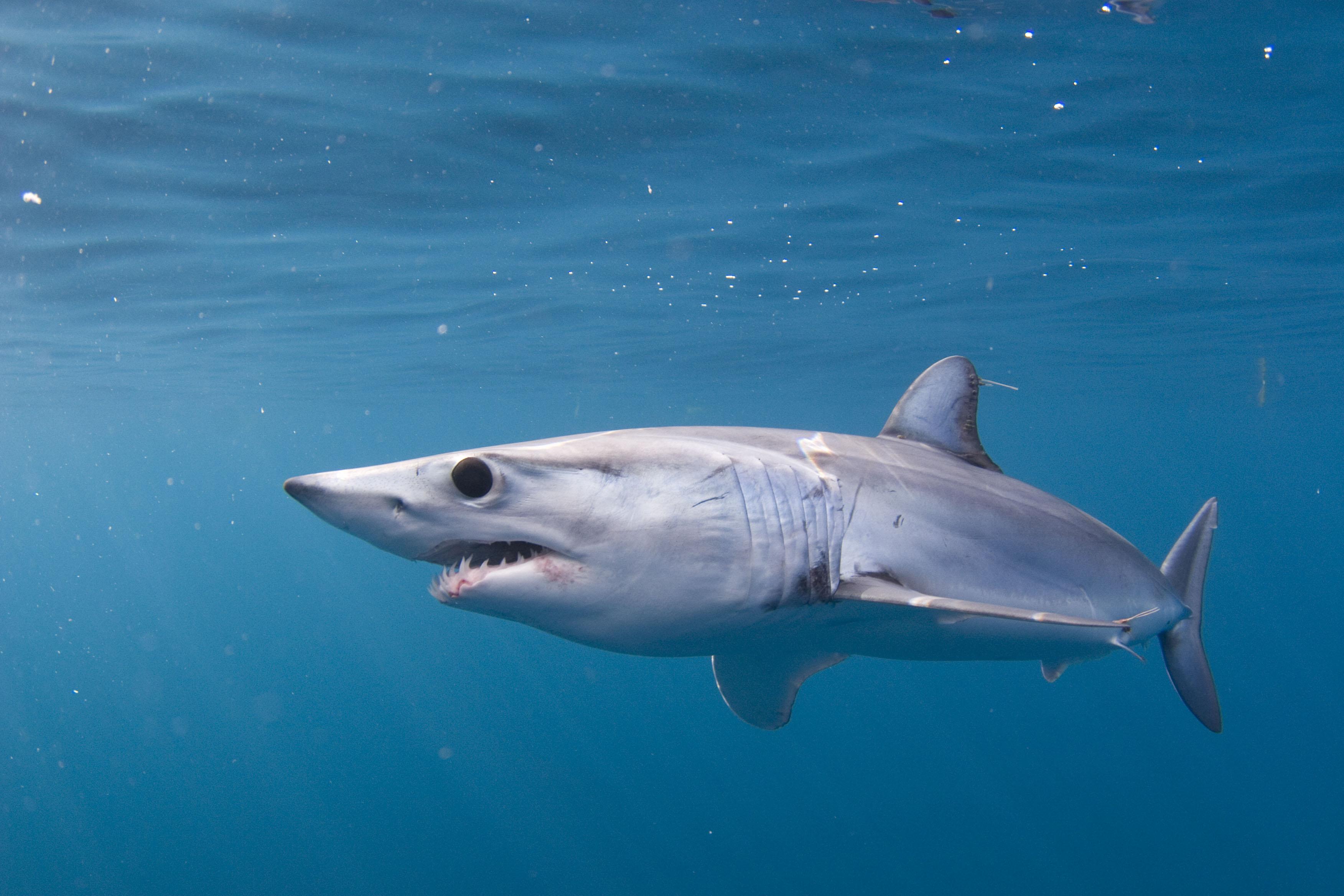 Результат изображения для вымершие акулы