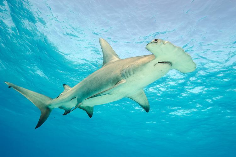 Акула-молот (Sphyrna mokarran)