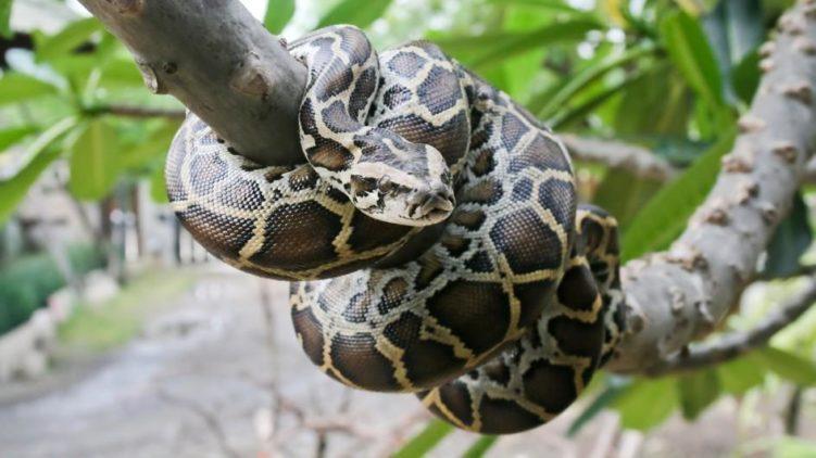 Бирманский питон (Python bivittatus)