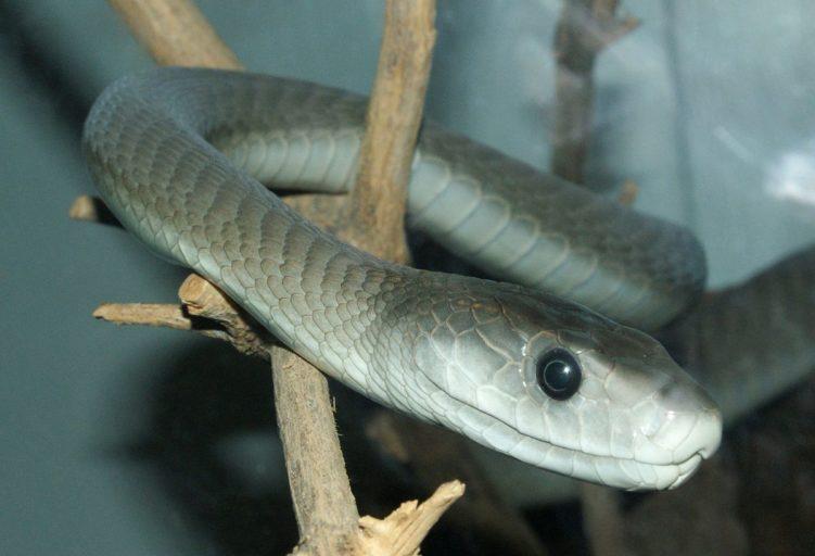 Самая длинная ядовитая змея в мире