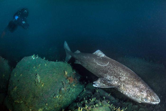 Гренландская полярная акула (Somniosus microcephalus)