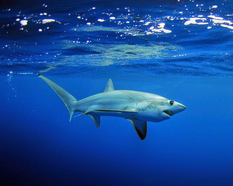 Лисья акула (Alopias superciliosus)