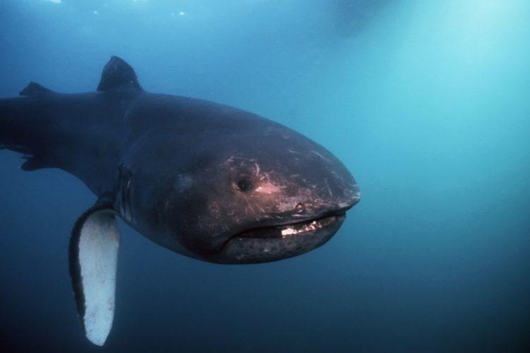 Пелагическая большеротая акула (Megachasma pelagios)