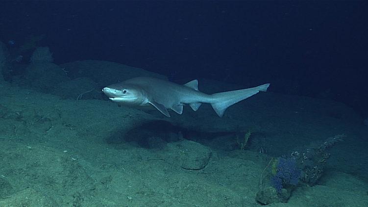 Шестижаберная акула (Hexanchus griseus)
