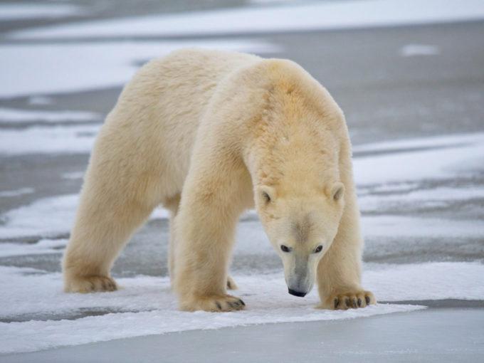 Belyi-medved