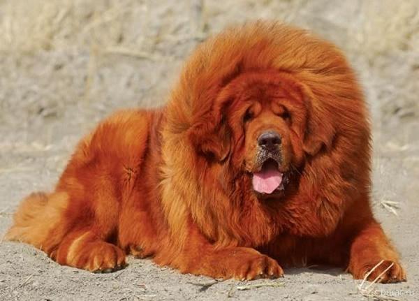Самые дорогие собаки в России