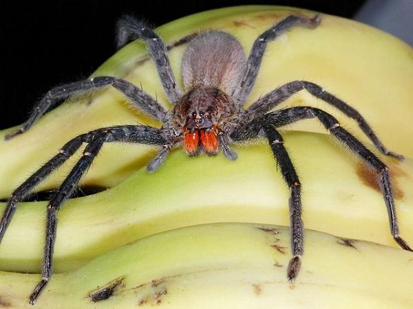 Бразильский паук. Самый ядовитый паук в мире