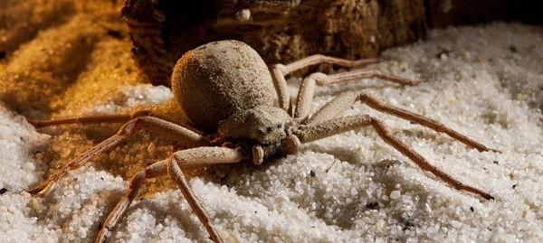 Песочный шестиглазый. Самые ядовитые пауки