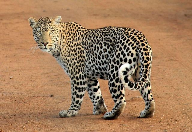 Леопард, самые крупные хищные кошки