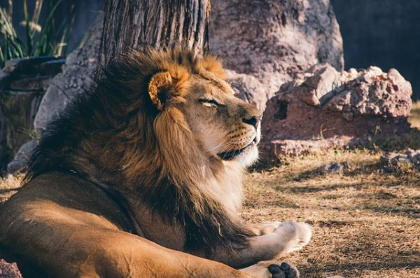 Лев, самые крупные кошки