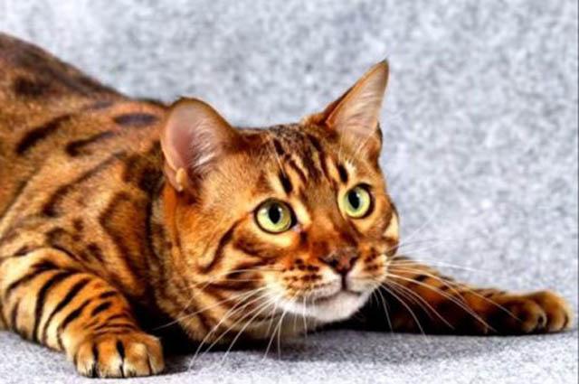 Топ 10 самых редких пород кошек