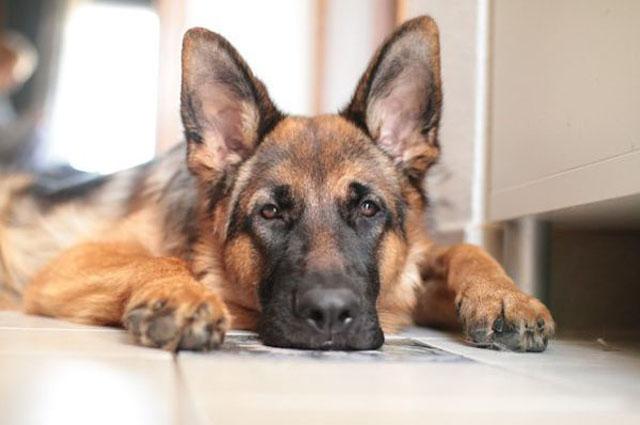 Топ 10 самых преданных пород собак