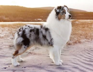 Топ 10 Самые умные породы собак на планете - Австралийская овчарка (Аусси)