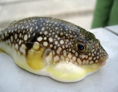 Топ 10 Самые ядовитые животные планеты - Рыба Фугу