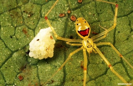 Самые красивые и необычные пауки в мире - Улыбающийся паук