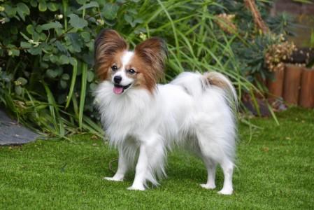 рейтинг самых миниатюрных собак в мире