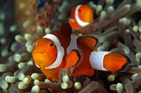 Рыба – клоун