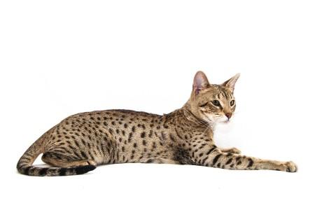 Самая дорогая порода кошек в мире
