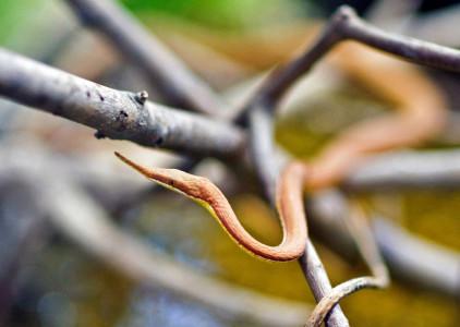 Листоносый мадагаскарский уж