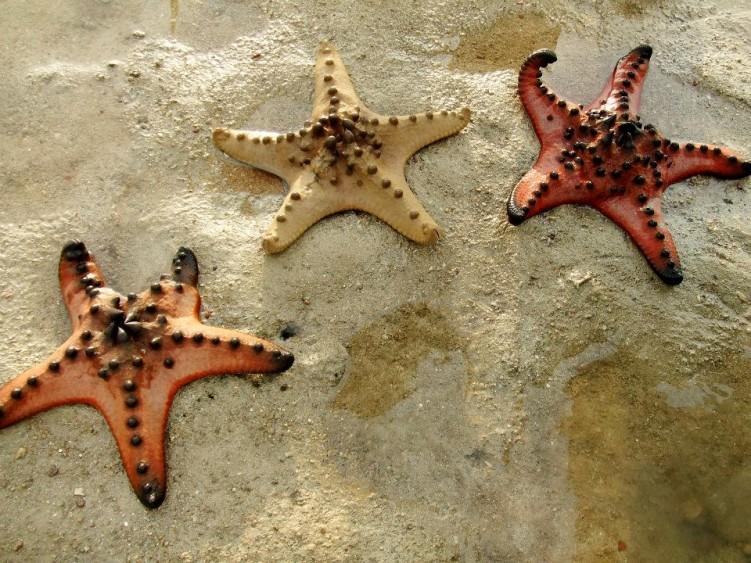 Шоколадная рогатая морская звезда (Protoreaster nodosus)