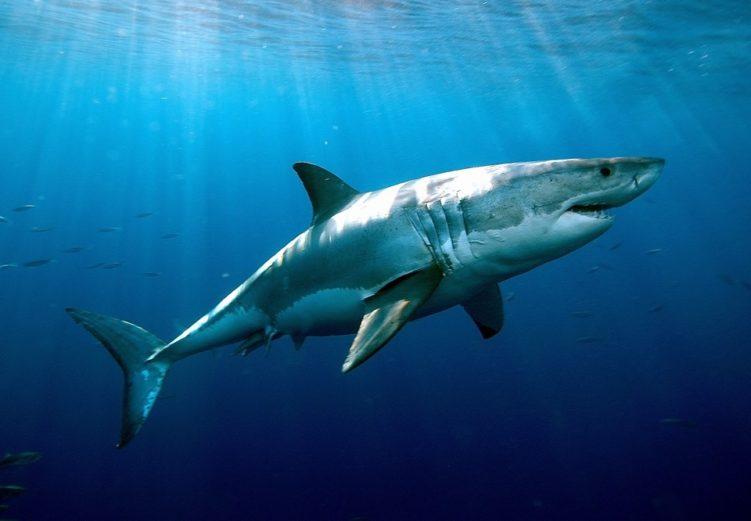 Самая опасная акула в мире
