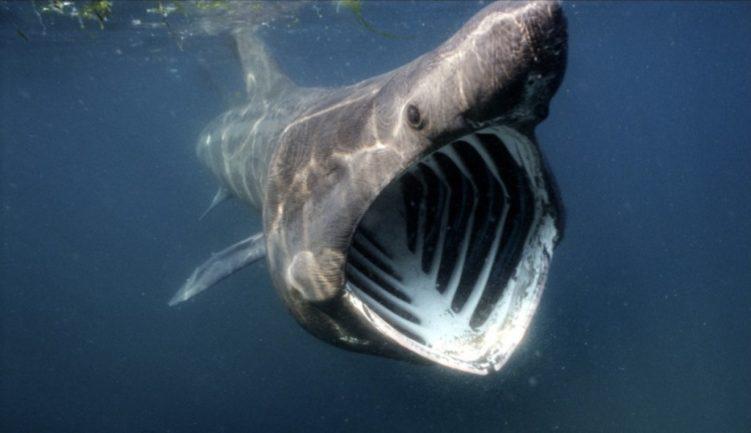 Исполинская акула (Cetorhinus maximus)
