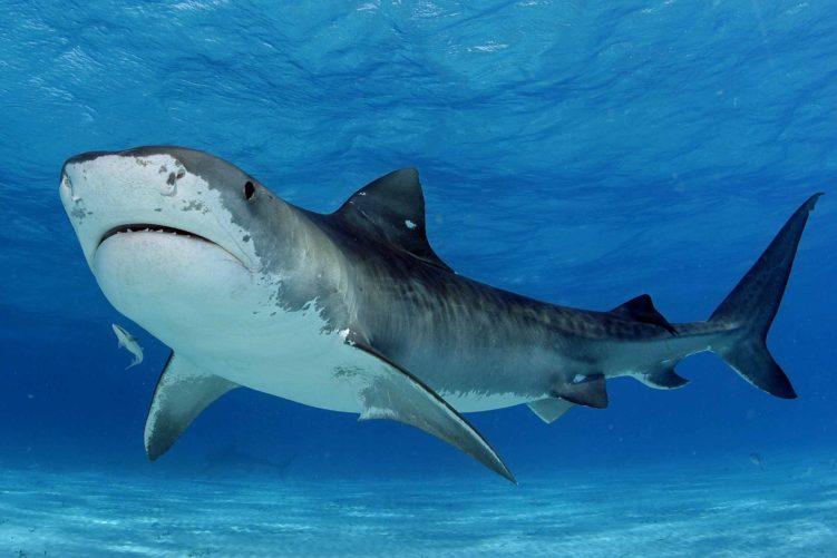 Тигровая акула (Galeocerdo cuvier)